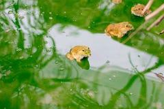许多在水的青蛙在水泥块,在日志的牛蛙 免版税图库摄影