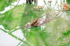 许多在水的青蛙在水泥块,在日志的牛蛙 免版税库存照片