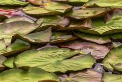 许多在池塘的莲花叶子 图库摄影