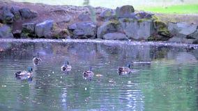 许多在池塘的野鸭 影视素材