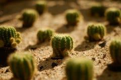 许多在沙子的仙人掌 库存照片