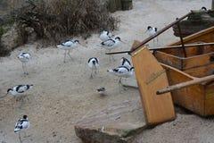 许多在海滩的染色长嘴上弯的长脚鸟 免版税库存照片