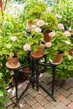 许多在立场的桃红色大竺葵 库存图片