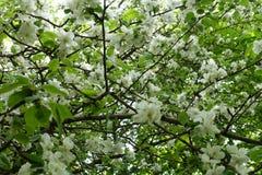 许多在苹果leafage的白花在春天 免版税库存图片