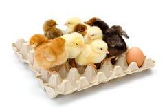 许多在蛋盘子的新出生的鸡 免版税库存图片