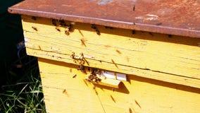 许多在蜂箱入口的蜂 群集和飞行在他们的蜂箱附近的蜂蜜蜂在晴天 农厂蜂蜜 影视素材