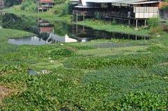 许多在运河的凤眼兰做了水污染 免版税库存照片