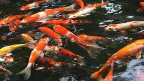 许多在鲤鱼池塘想象鲤鱼或叫的Koi鱼游泳 影视素材