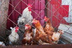 许多多彩多姿的母鸡和一只公鸡在篱芭后 免版税库存图片