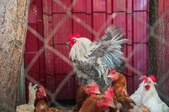许多多彩多姿的母鸡和一只公鸡在篱芭后 免版税库存照片