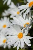 许多大延命菊花在庭院里 免版税库存照片
