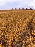 许多大豆收获 库存照片