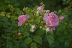许多小桃红色玫瑰在灌木开花在ther雨以后 免版税库存照片
