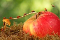 许多小的瓢虫在分支移动从在苹果的蘑菇在绿色背景飞行的特写镜头 动物幽默 免版税图库摄影
