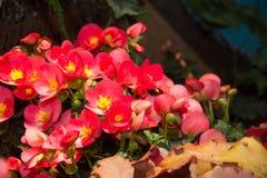 发光在庭院里的红色微微发亮蜡秋海棠 库存照片