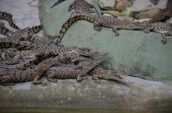 许多小鳄鱼在堆在水边缘  侧视图 库存照片