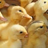 许多小鸭子 免版税图库摄影