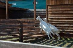 许多山羊在小牧场 免版税库存图片
