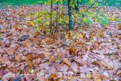 许多干燥叶子在11月的小树下 免版税库存图片
