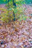 许多干燥叶子在11月的小树下 免版税库存照片