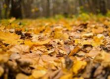 许多干燥黄色槭树留下背景植物群特写镜头,秋季 免版税库存图片
