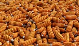 许多干玉米 库存照片