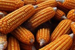 许多干玉米 库存图片