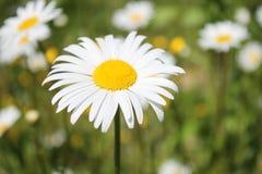 许多延命菊在庭院里 库存图片