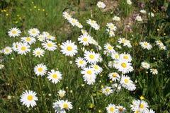许多延命菊在庭院里 免版税库存图片