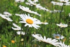 许多延命菊在庭院里 免版税库存照片