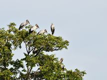 许多开放发单了鹳鸟在树顶部在蓝天下 库存照片