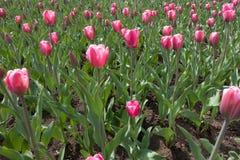 许多开花的桃红色郁金香在春天 免版税图库摄影