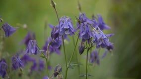 许多开花的紫色Aquilegia夏天在6月