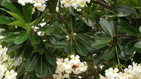 许多异乎寻常的白花 开花的赤素馨花羽毛Leelawadee套在绿色树的白色热带花 ?? 影视素材