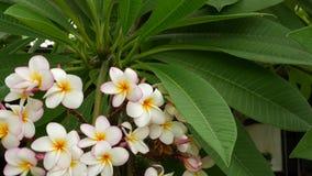 许多异乎寻常的白花 开花的赤素馨花羽毛leelawadee套在绿色树的白色热带花 ?? 股票视频