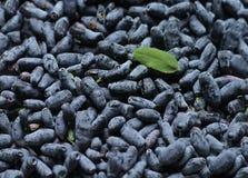 许多忍冬属植物成熟莓果  免版税库存照片