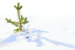 许多愉快的岁月生活一根小冷杉木 免版税库存图片