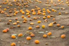 许多成熟杏子从树和说谎落在地面上 免版税库存照片