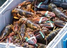 许多新近地被捉住的龙虾被排序入容器在钓鱼的bo 库存图片