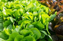 许多新鲜的叶子沙拉在庭院里 图库摄影
