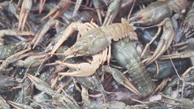 许多新鲜的小龙虾 在市场上的鱼商店 股票录像