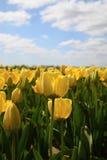 许多明亮的黄色郁金香在庭院里在蓝天下 免版税库存图片