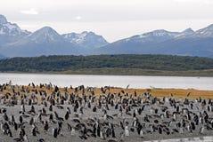 许多最近的企鹅ushuaia 免版税库存照片