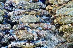 许多未加工的蓝色精神食粮螃蟹 图库摄影