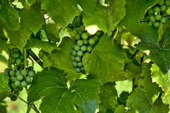 许多束绿色葡萄 免版税库存图片