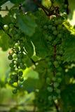 许多束绿色葡萄 免版税库存照片