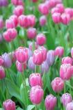 许多桃红色和紫色郁金香 免版税库存照片