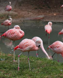 许多桃红色火鸟基于池塘 免版税库存照片