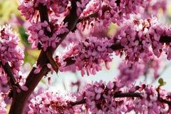 许多桃红色紫荆花特写镜头  在绽放的花在一个红褐色的分支在春天 库存图片