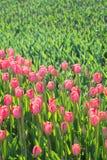 许多桃红色郁金香在公园 库存照片